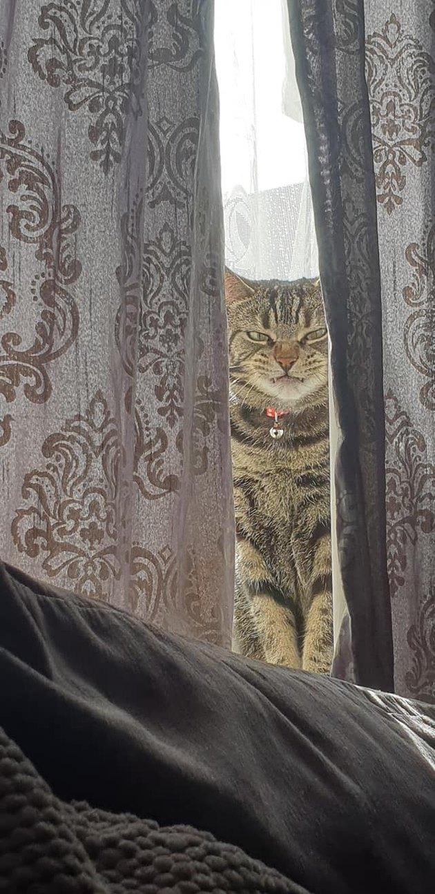 cat hides behind curtain