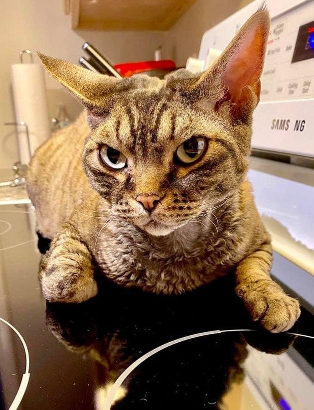 scowling Devon Rex cat