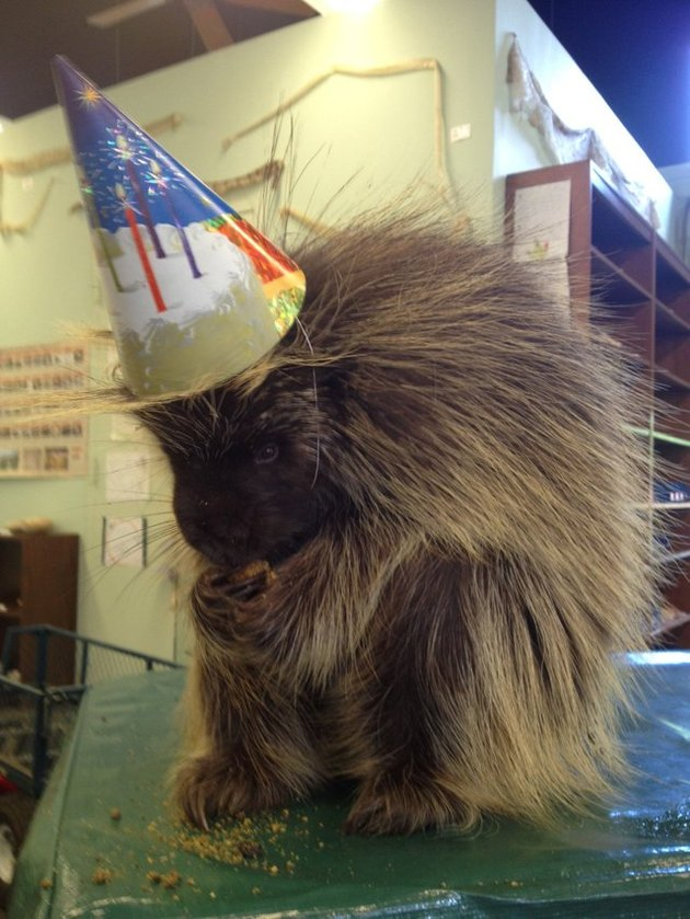 Porcupine wearing a party hat