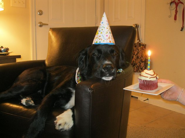 Dog wearing party hat and looking unimpressed at cupcake