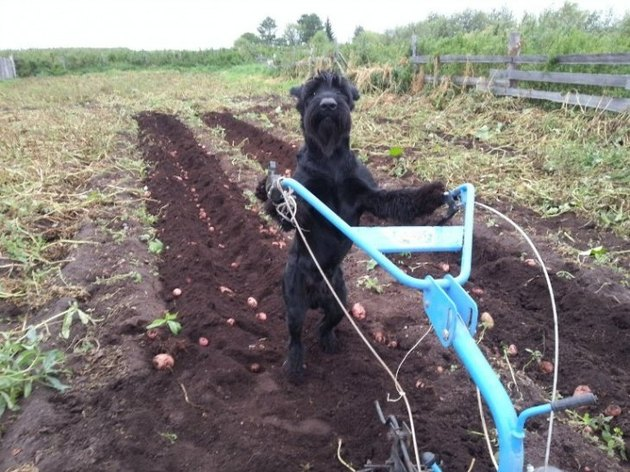 Dog farming potatoes