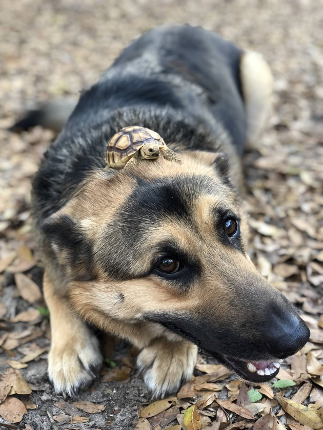 Dog with a turtle on its head