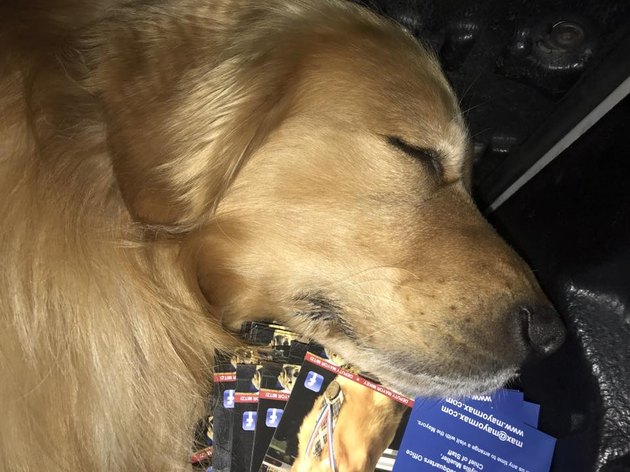 Dog Mayor Max asleep on a stack of postcards