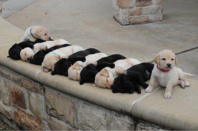 Alternating black and white sleeping Labrador puppies