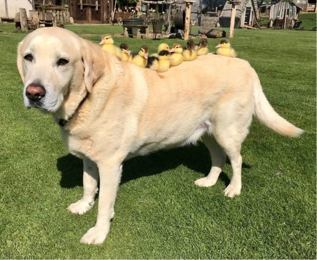 Castle dog 'adopts' 9 ducklings and we can't even because awww