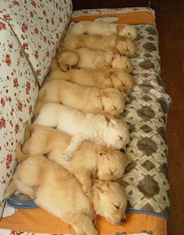 Eight golden retriever puppies sleeping in a row
