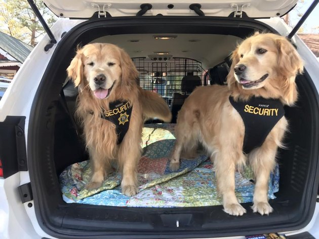 Deputy Mayor dogs wearing security vests in a car