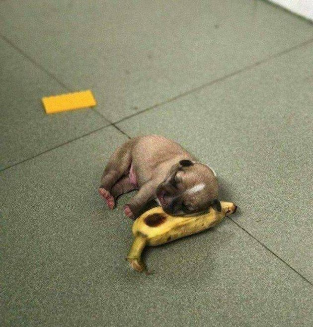 Puppy asleep on a banana