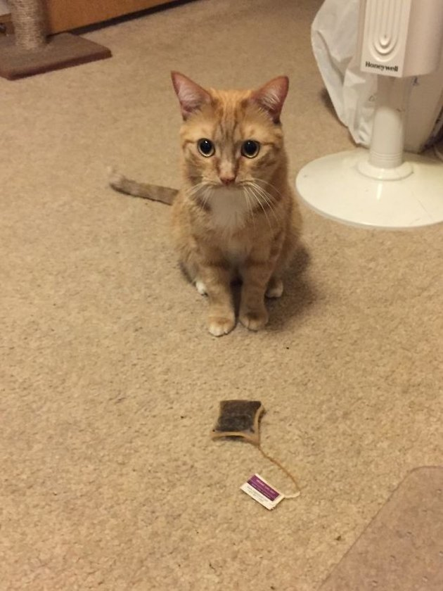 Cat with a used tea bag