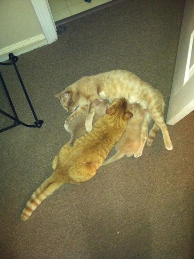 Adult cat nursing
