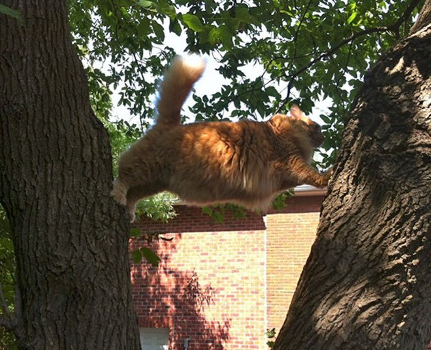 Fat cat jumping in a tree