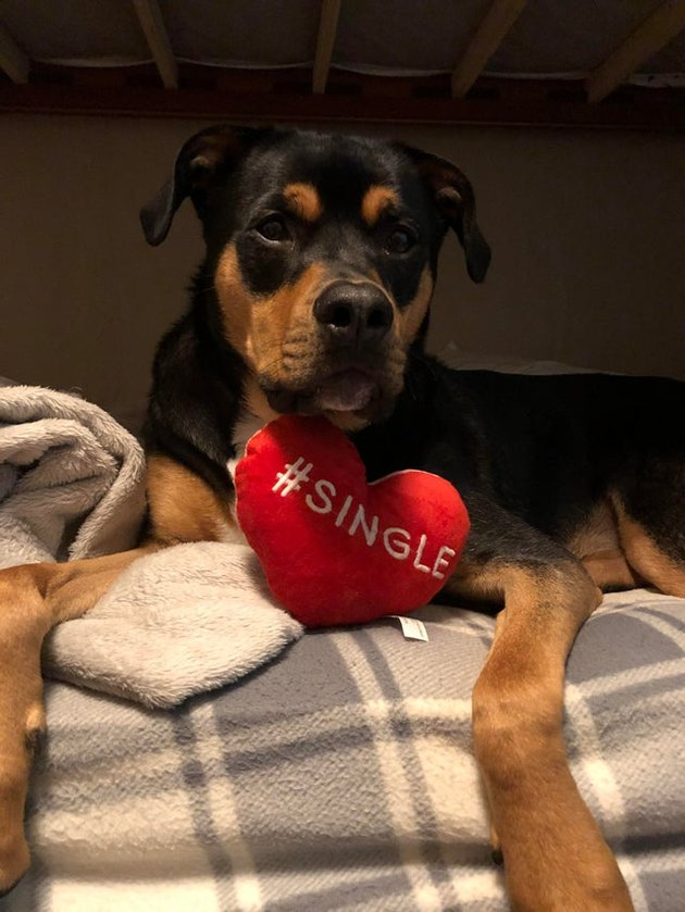 Rottweiler with a heart shaped pillow that says #single