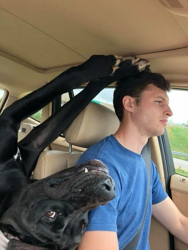 Dog laying upside down between the two front seats of a car while a man is driving