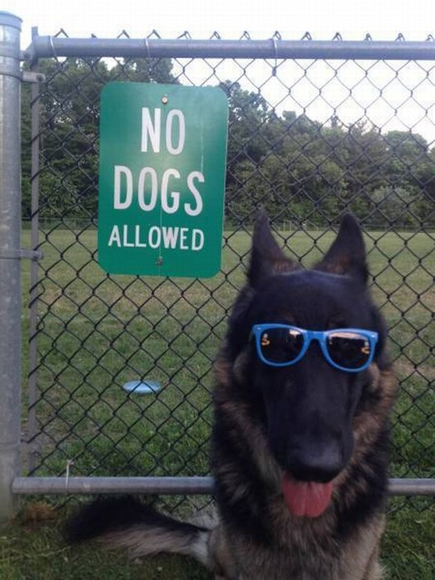 "Cool dog in sunglasses standing my a sign that says ""No dogs"""