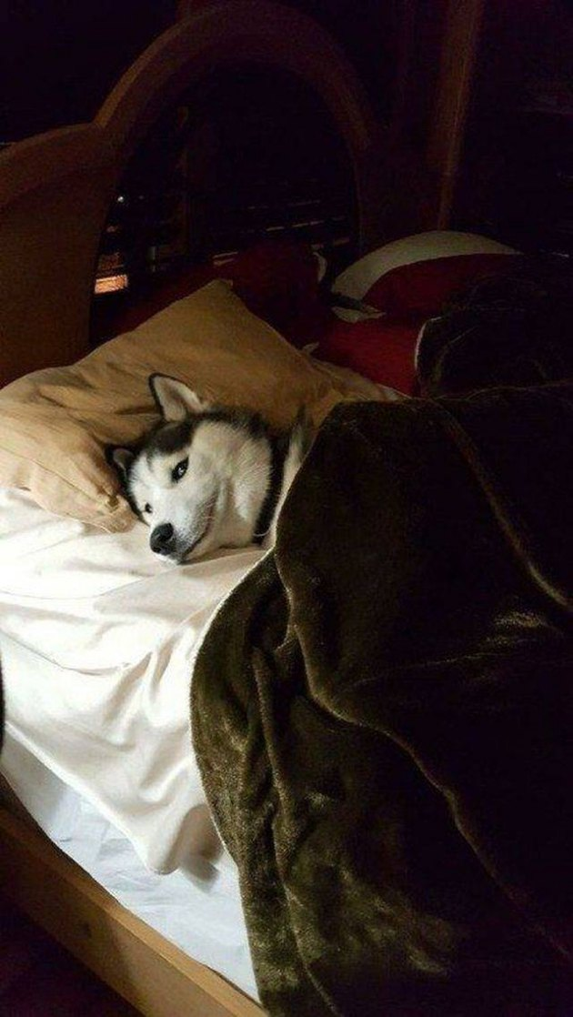 Husky dog all tucked into bed