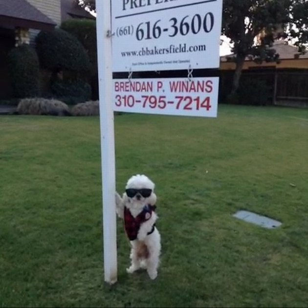 Dog wearing sunglasses and looking cool by real estate sign