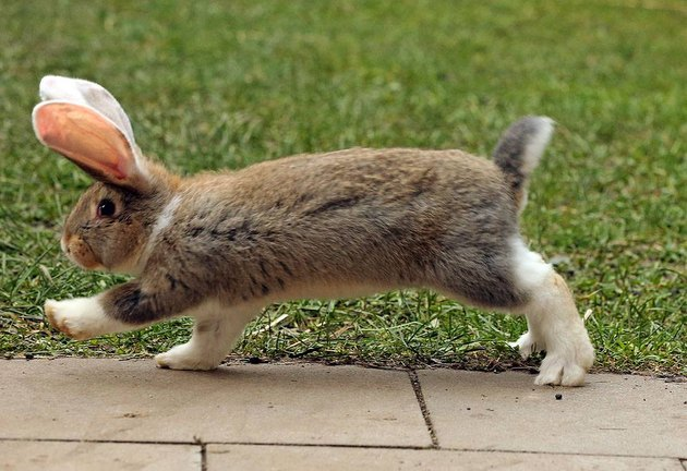 Rabbit walking purposefully