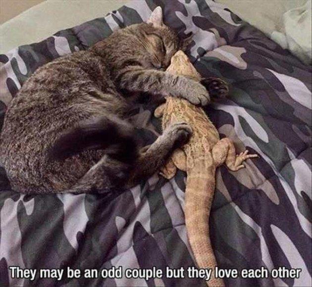 Cat and a lizard snuggling
