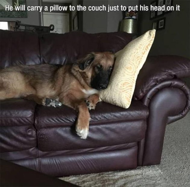 Dog who is smart and carries a pillow on the couch to nap