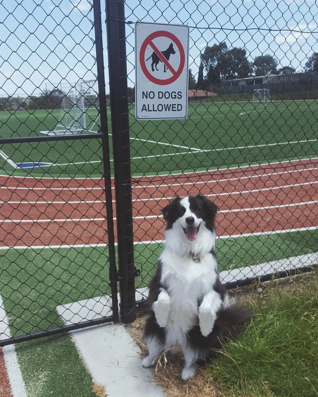 dog stands on hind legs in front of no dogs allowed sign