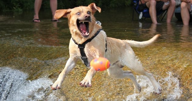 Dog chasing a ball with its mouth open.