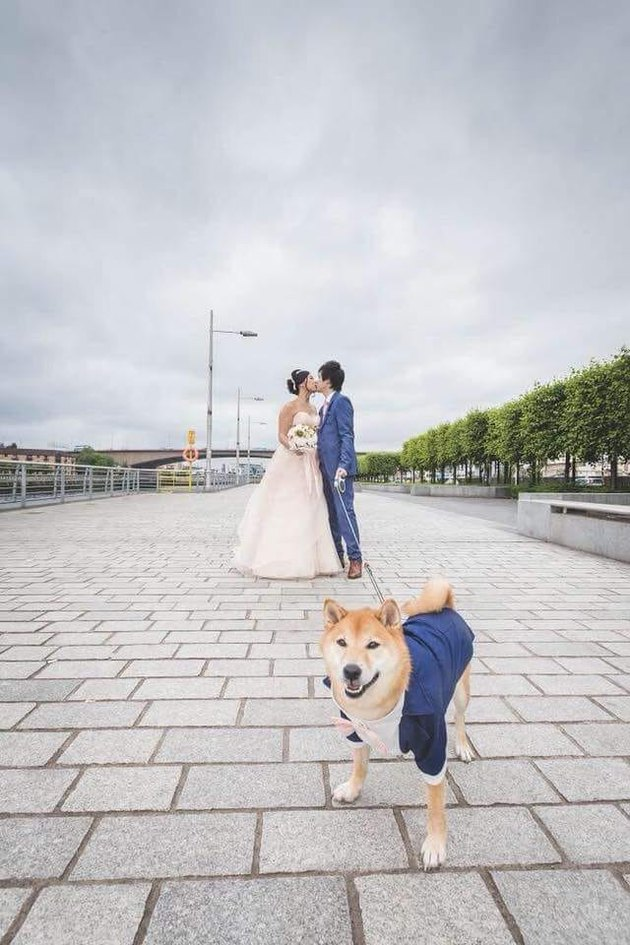shiba inu poses in suit with bride and groom