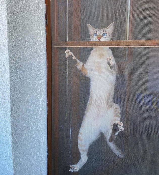 siamese cat climbing screen door