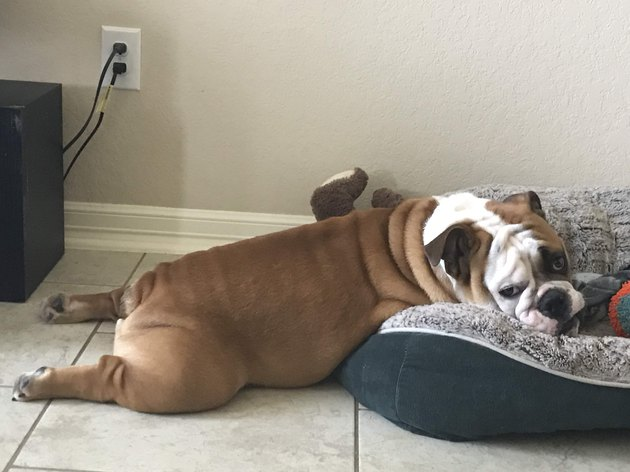 Bulldog on bed. Mostly on bed anyway.