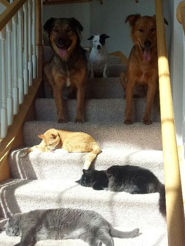 Dogs waiting at the top of a staircase where three cats are laying on the stairs