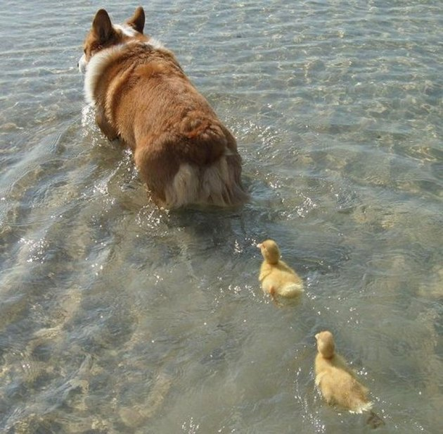 Two ducklings swimming behind a corgi