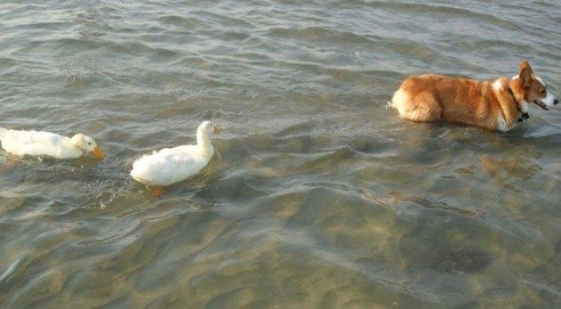 Two ducks swimming behind a corgi