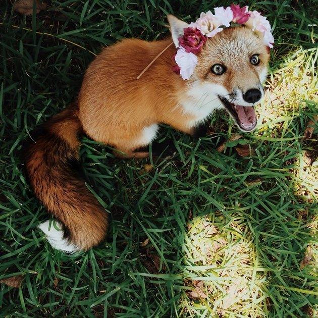 Fox wearing a flower crown.