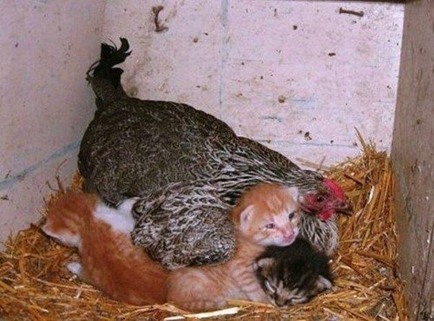 Hen sitting on kittens.