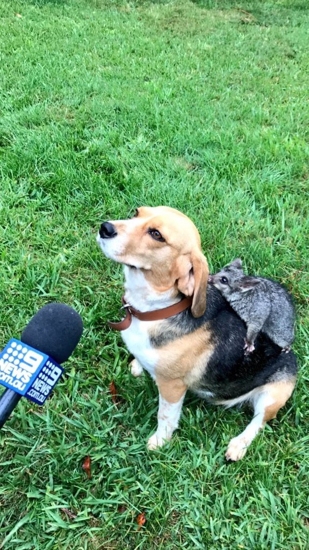 Beagle with possum on her back
