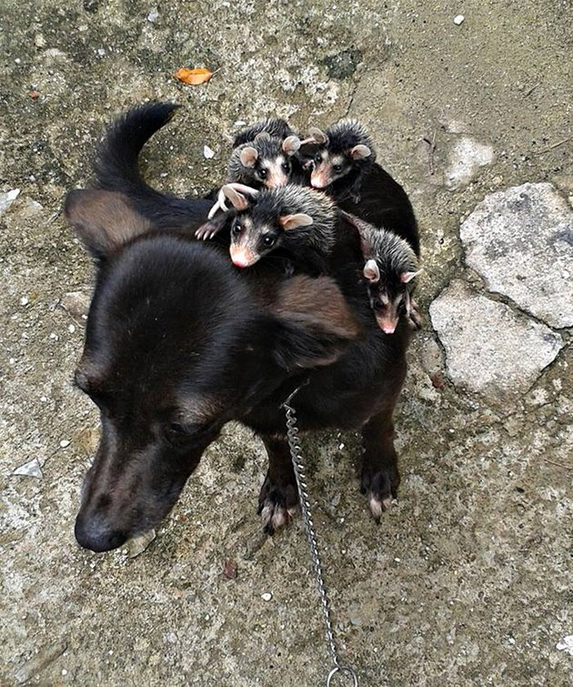 Baby opossums riding on dog's back