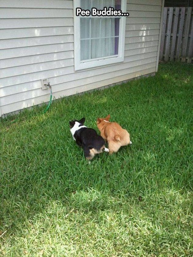 "Dogs that are ""pee buddies"" and peeing at the same time!"
