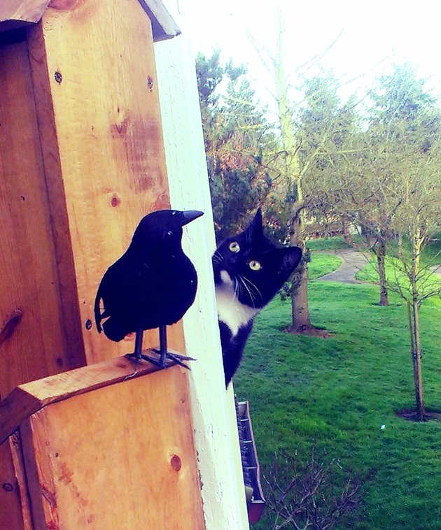 Cat looking at a fake crow