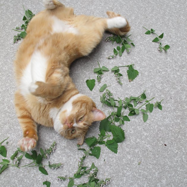 16 cats overdosing on the nip