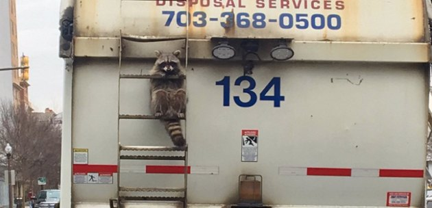 A short history of raccoons going viral on the internet for all the wrong reasons