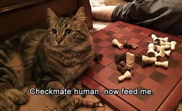 Cat sitting by a chess board
