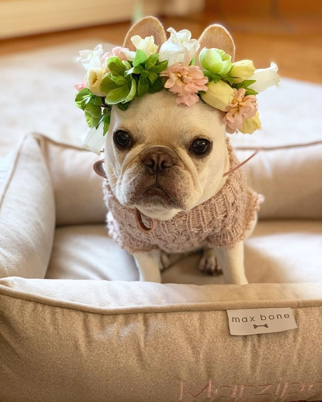 French bulldog wearing a flower crown