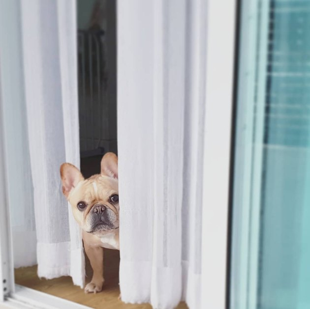 French bulldog looking around a corner