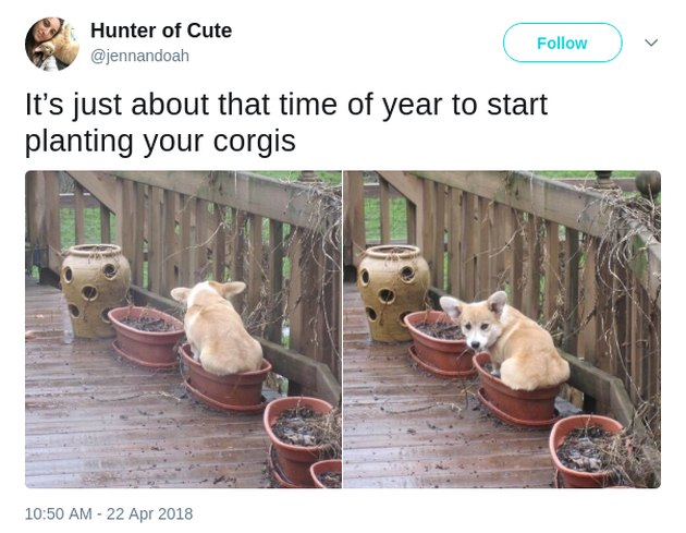 Corgi sitting in flower pot.