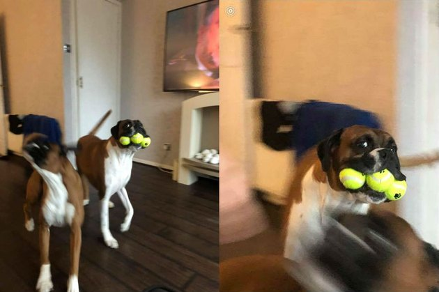 boxer dog named Banter