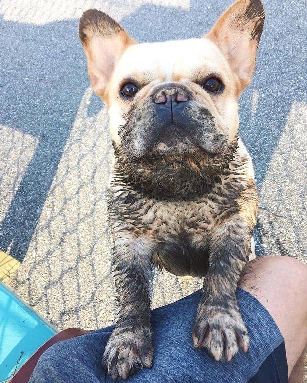 Muddy French bulldog