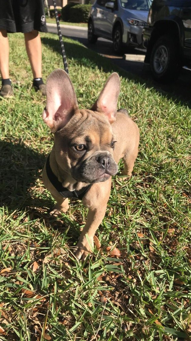 French bulldog puppy with big ears