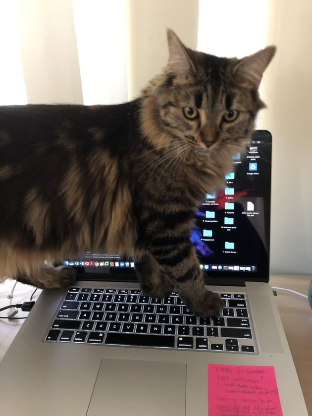 Cat walks on laptop