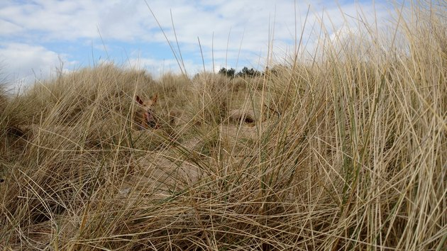 dog hides in beach grass