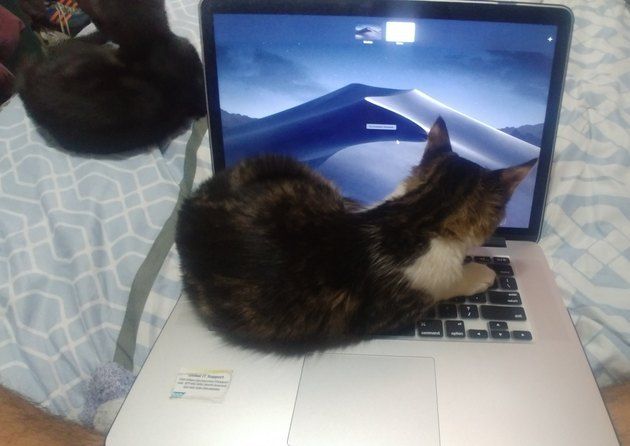 cat curled up on laptop