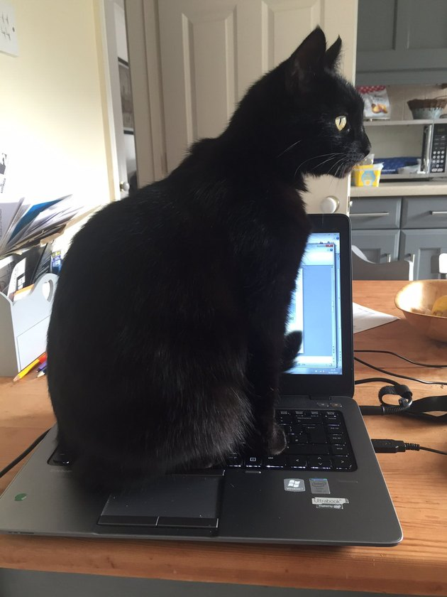 cat sits on open laptop